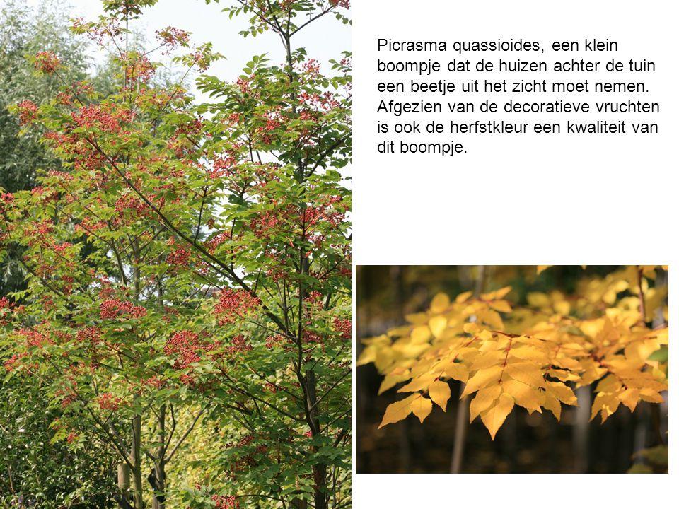 Picrasma quassioides, een klein boompje dat de huizen achter de tuin een beetje uit het zicht moet nemen. Afgezien van de decoratieve vruchten is ook