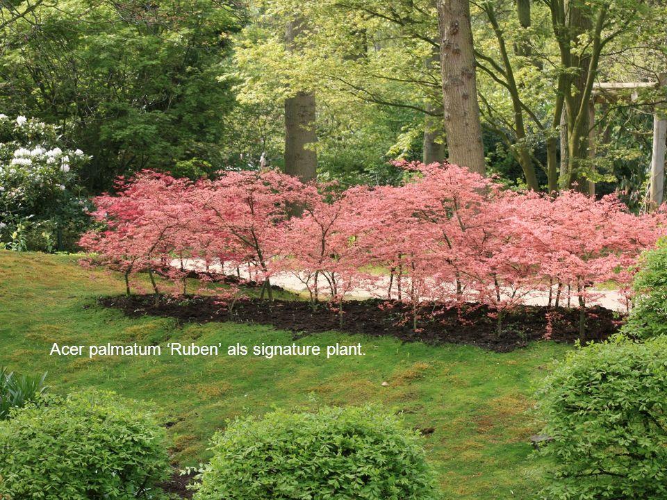 Acer palmatum 'Ruben' als signature plant.
