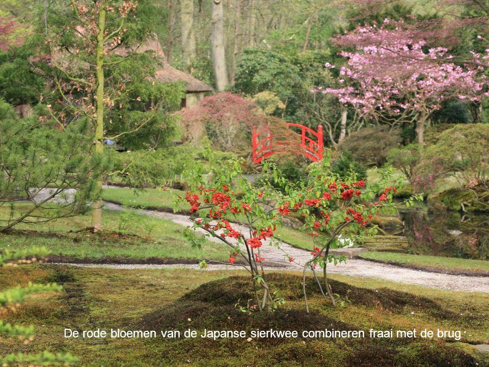 De rode bloemen van de Japanse sierkwee combineren fraai met de brug