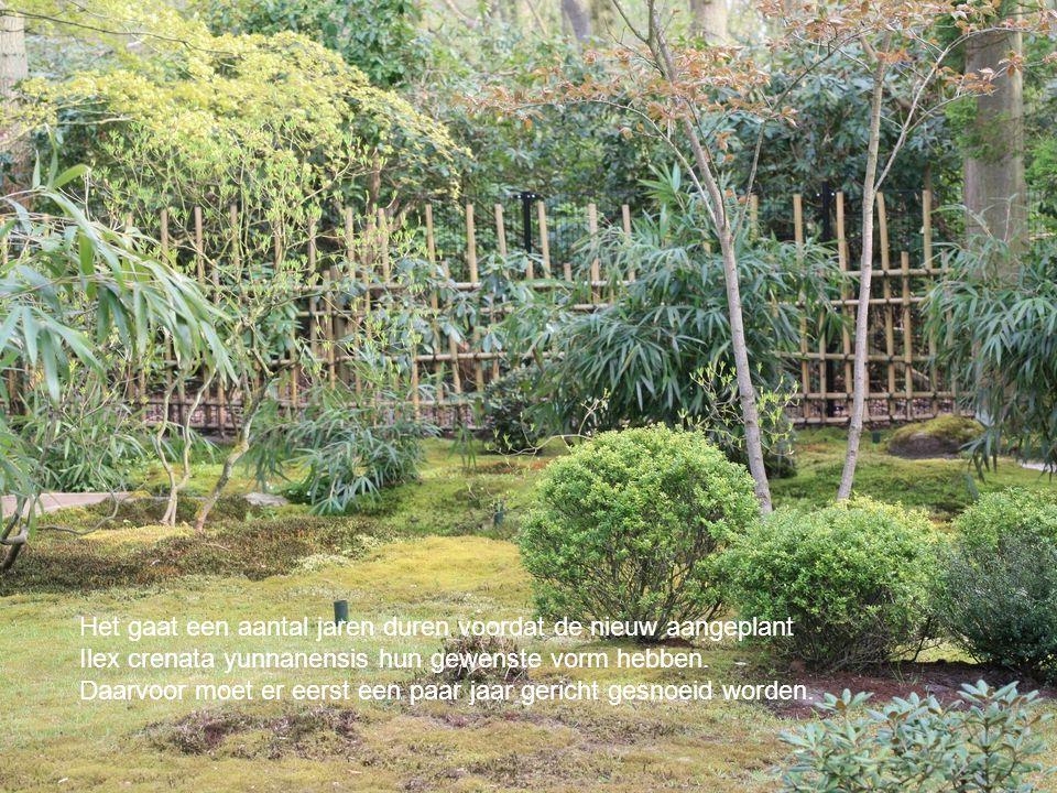 Het gaat een aantal jaren duren voordat de nieuw aangeplant Ilex crenata yunnanensis hun gewenste vorm hebben.