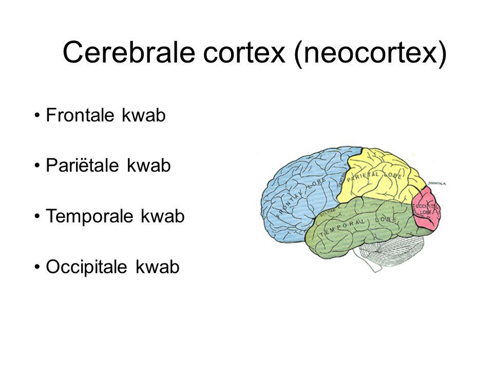 Cerebrale cortex (neocortex) Frontale kwab Pariëtale kwab Temporale kwab Occipitale kwab