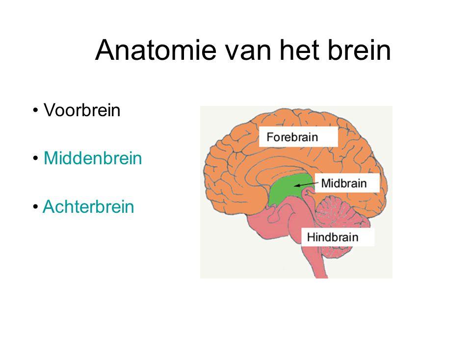 Anatomie van het brein Voorbrein Middenbrein Achterbrein