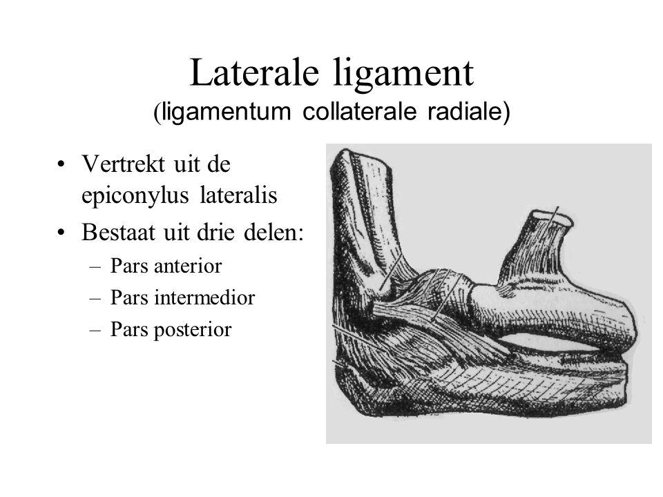 Laterale ligament ( ligamentum collaterale radiale) Vertrekt uit de epiconylus lateralis Bestaat uit drie delen: –Pars anterior –Pars intermedior –Pars posterior