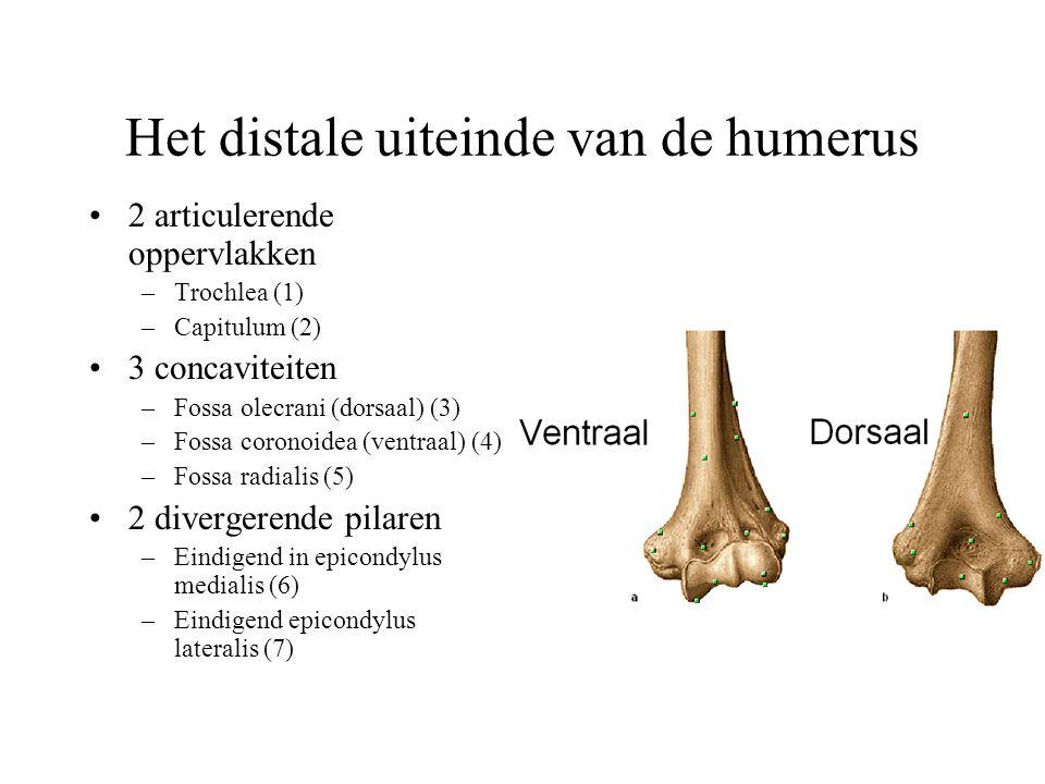 Het distale uiteinde van de humerus 2 articulerende oppervlakken –Trochlea (1) –Capitulum (2) 3 concaviteiten –Fossa olecrani (dorsaal) (3) –Fossa coronoidea (ventraal) (4) –Fossa radialis (5) 2 divergerende pilaren –Eindigend in epicondylus medialis (6) –Eindigend epicondylus lateralis (7)