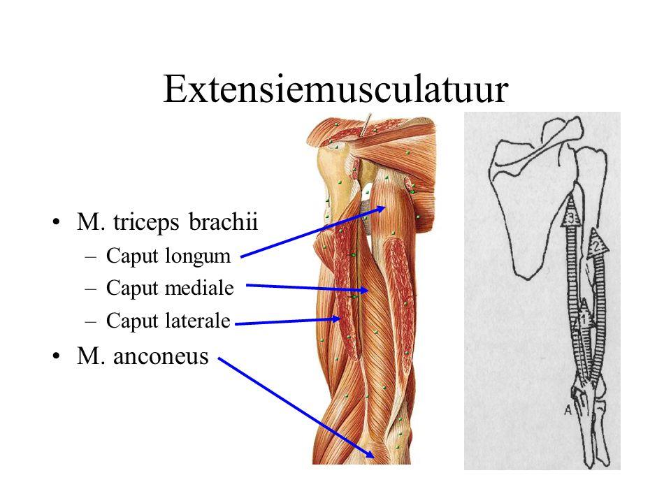 Extensiemusculatuur M. triceps brachii –Caput longum –Caput mediale –Caput laterale M. anconeus