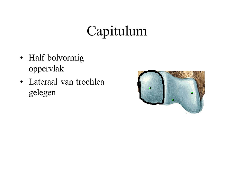 Capitulum Half bolvormig oppervlak Lateraal van trochlea gelegen