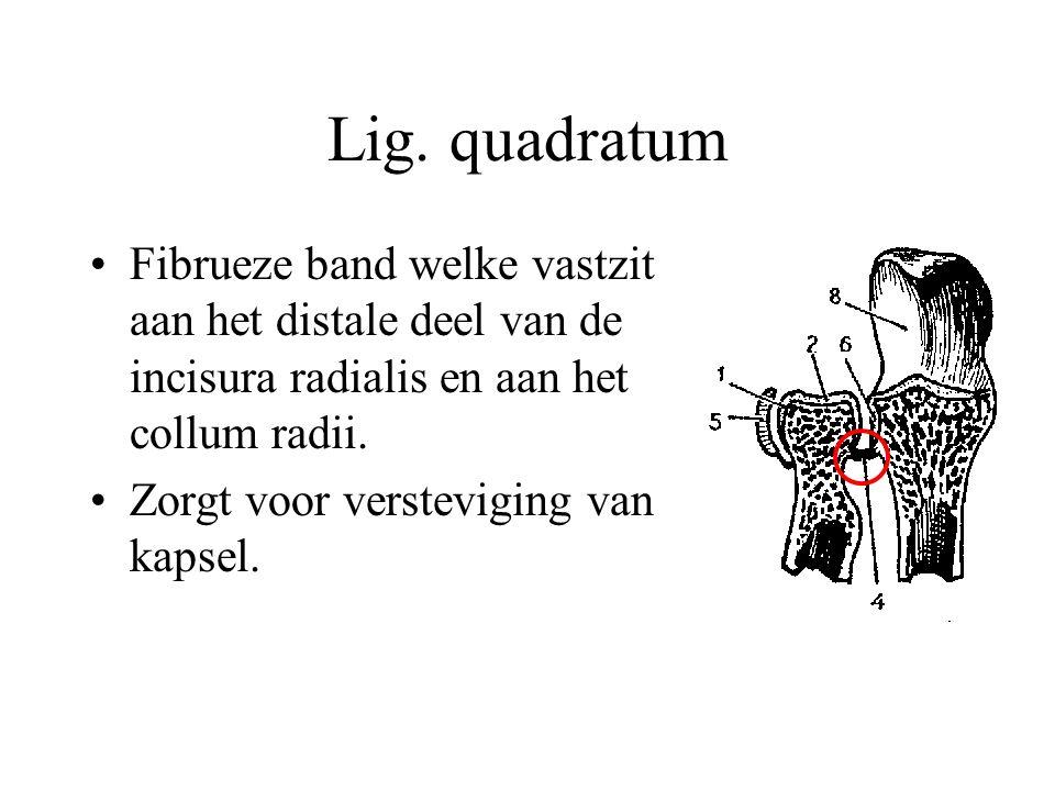Lig. quadratum Fibrueze band welke vastzit aan het distale deel van de incisura radialis en aan het collum radii. Zorgt voor versteviging van kapsel.