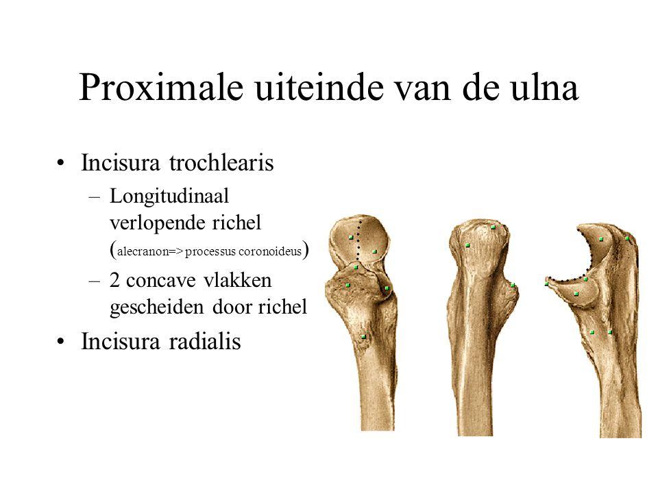 Flexiemusculatuur (1) m. brachialis: uitsluitend flexor