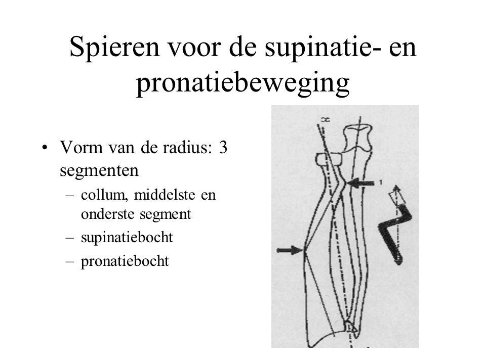 Spieren voor de supinatie- en pronatiebeweging Vorm van de radius: 3 segmenten –collum, middelste en onderste segment –supinatiebocht –pronatiebocht