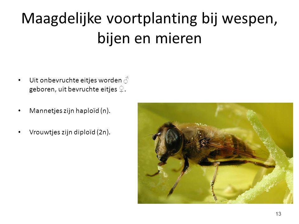 13 Maagdelijke voortplanting bij wespen, bijen en mieren Uit onbevruchte eitjes worden ♂ geboren, uit bevruchte eitjes ♀. Mannetjes zijn haploïd (n).