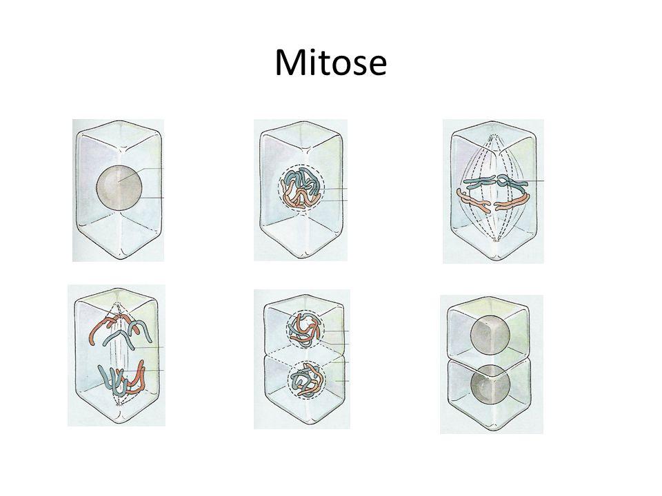 Ongeslachtelijke voortplanting Ongeslachtelijke voortplanting gaat met mitose – Kinderen zijn identiek aan de ouders natuurlijk kunstmatig