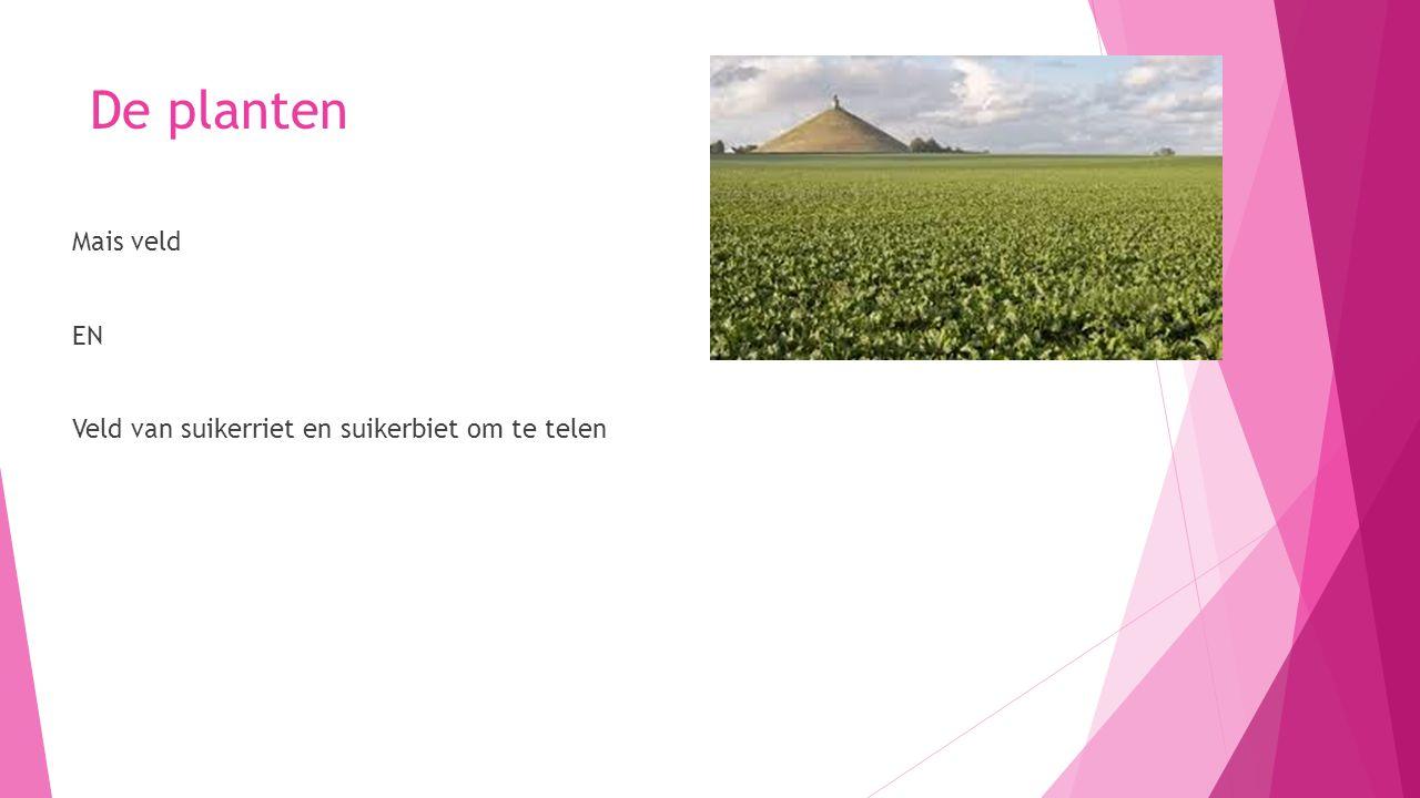 De planten Mais veld EN Veld van suikerriet en suikerbiet om te telen