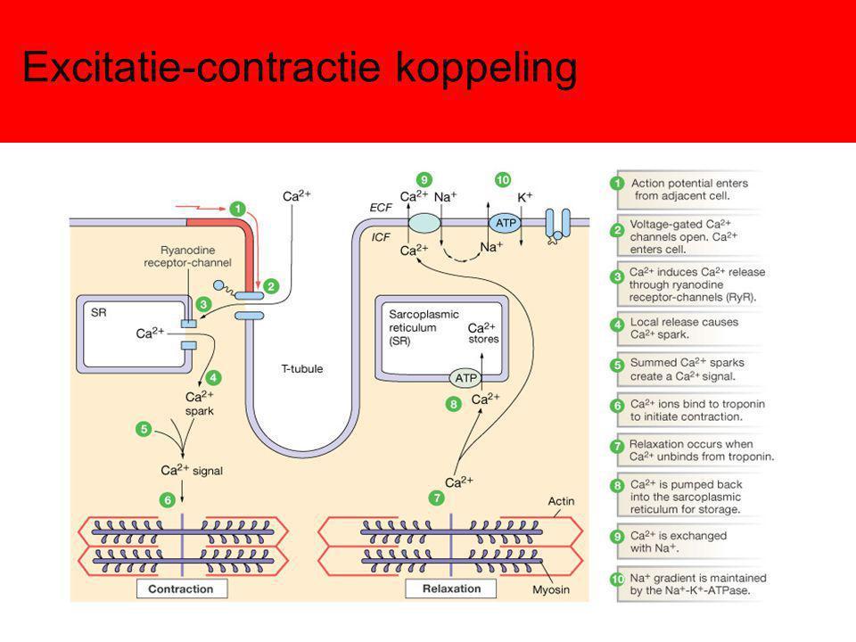 Excitatie contractie in myocyten