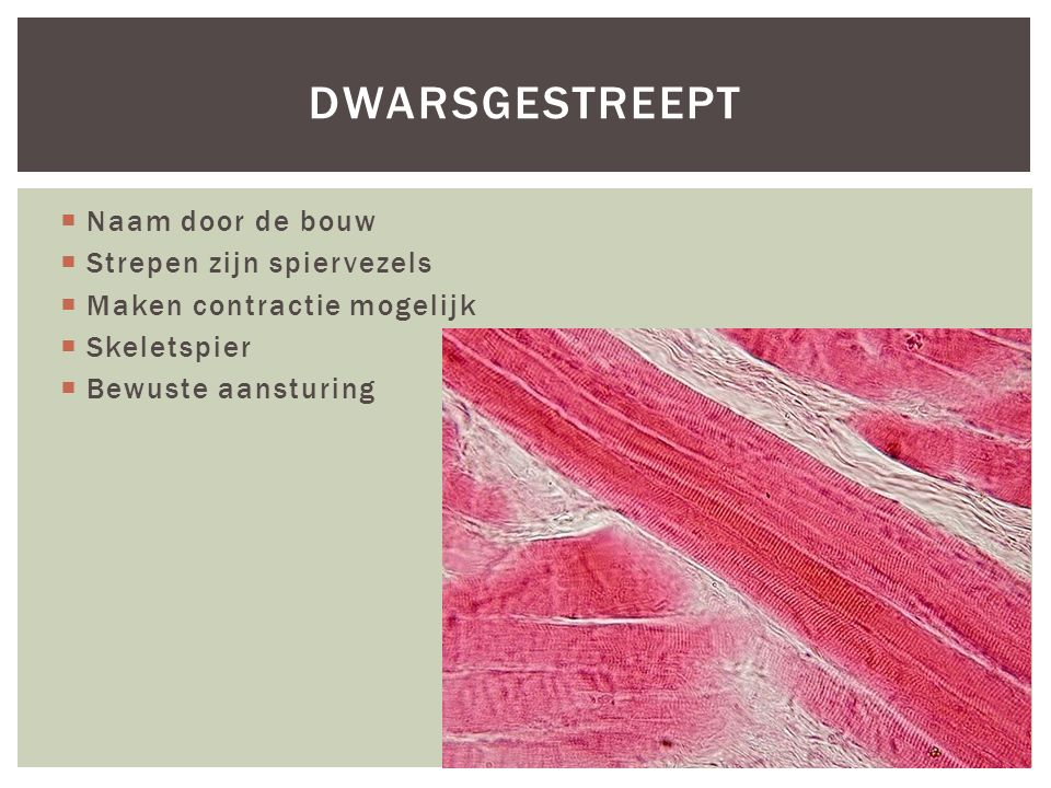  Naam door de bouw  Strepen zijn spiervezels  Maken contractie mogelijk  Skeletspier  Bewuste aansturing DWARSGESTREEPT