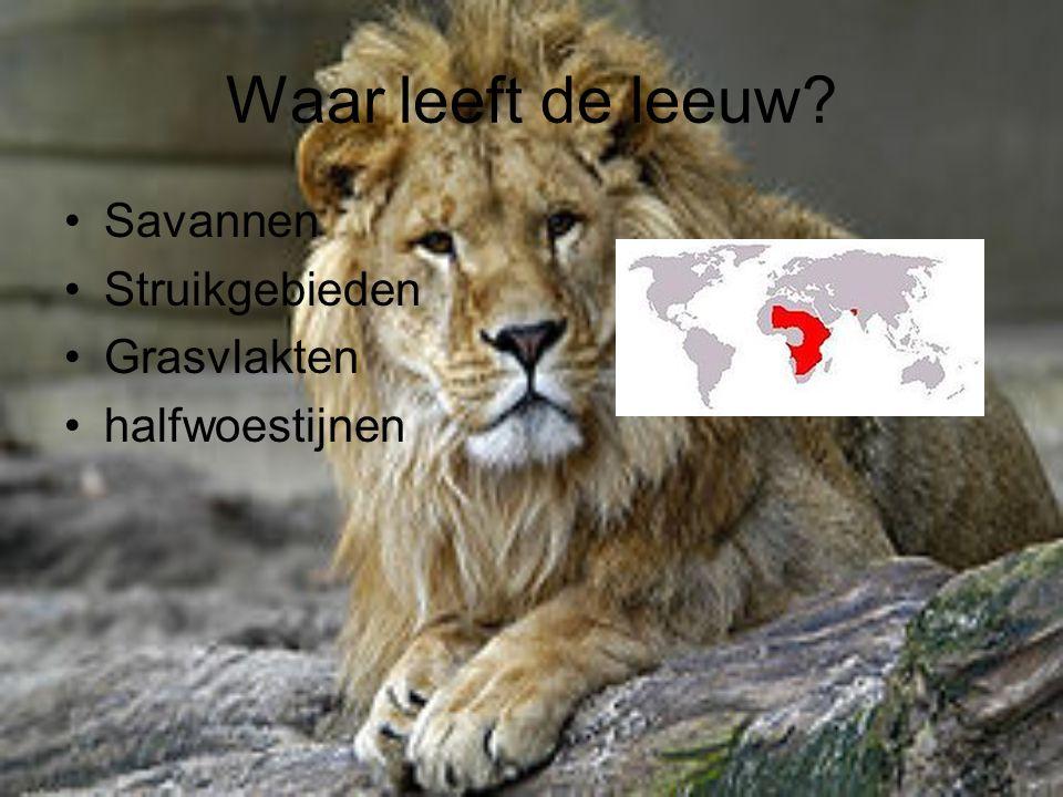 Waar leeft de leeuw? Savannen Struikgebieden Grasvlakten halfwoestijnen
