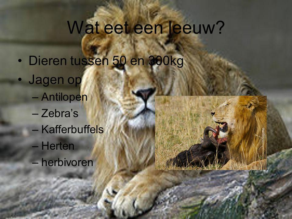 Wat eet een leeuw? Dieren tussen 50 en 300kg Jagen op –Antilopen –Zebra's –Kafferbuffels –Herten –herbivoren