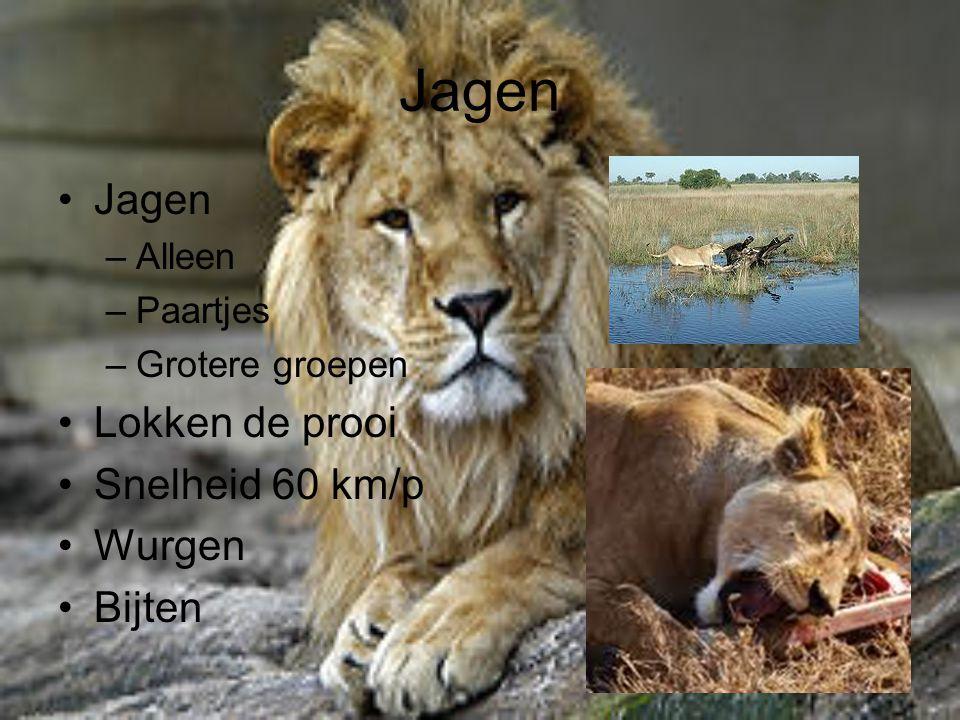 Jagen –Alleen –Paartjes –Grotere groepen Lokken de prooi Snelheid 60 km/p Wurgen Bijten