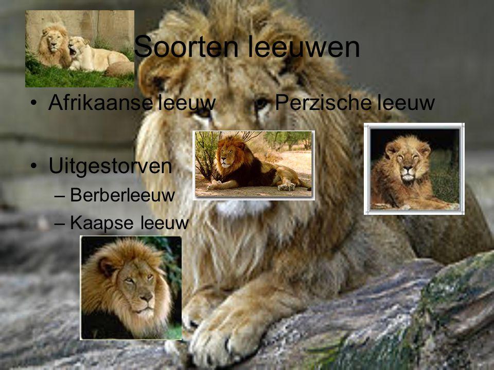 Soorten leeuwen Afrikaanse leeuw Uitgestorven –Berberleeuw –Kaapse leeuw Perzische leeuw