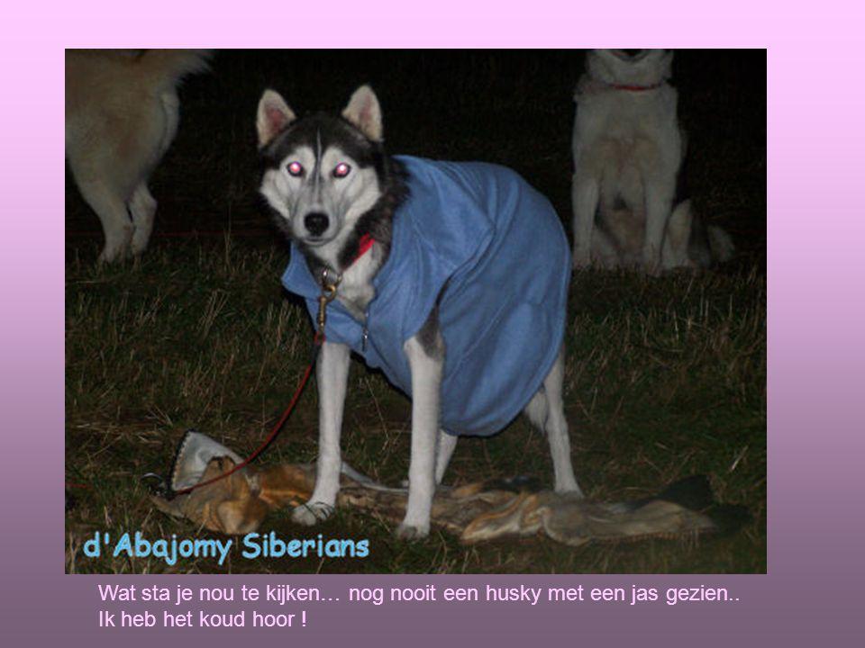 Wat sta je nou te kijken… nog nooit een husky met een jas gezien.. Ik heb het koud hoor !