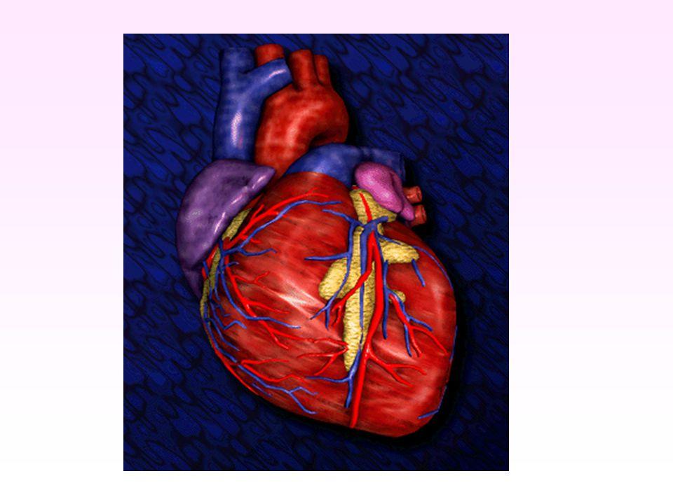 Werking en bouw van het hart RB RKLK LB Longen aorta longader longslagader