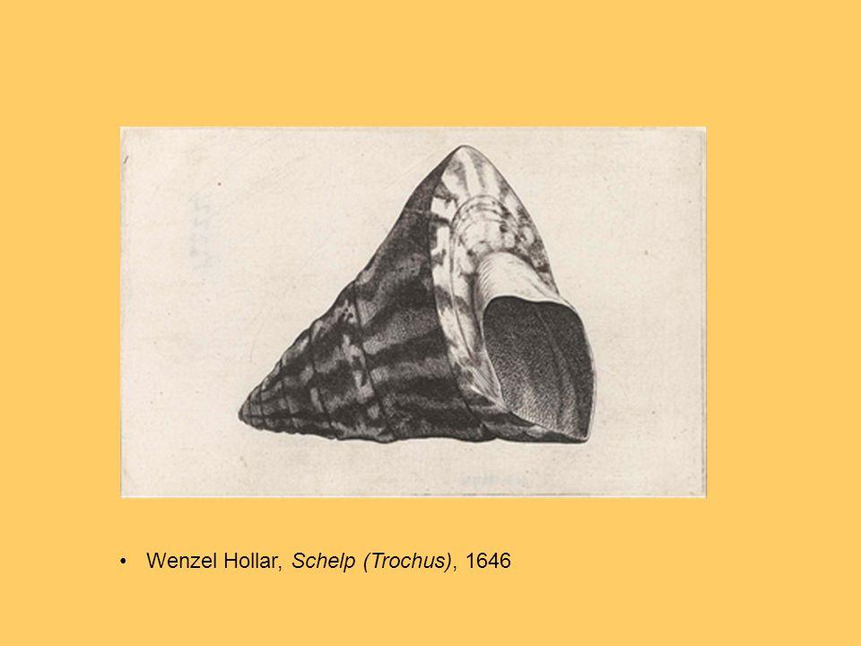 Wenzel Hollar, Schelp (Trochus), 1646
