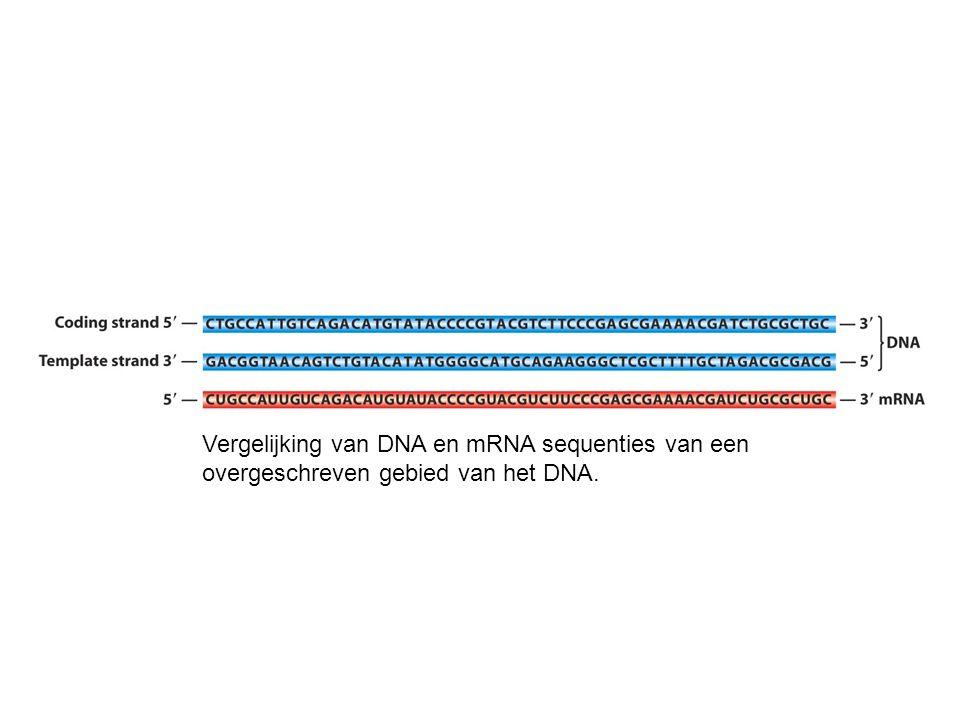 Transcriptie van ribosomale RNA genen, herhaald in tandem in de kern van de salamander Triturus viridiscens.