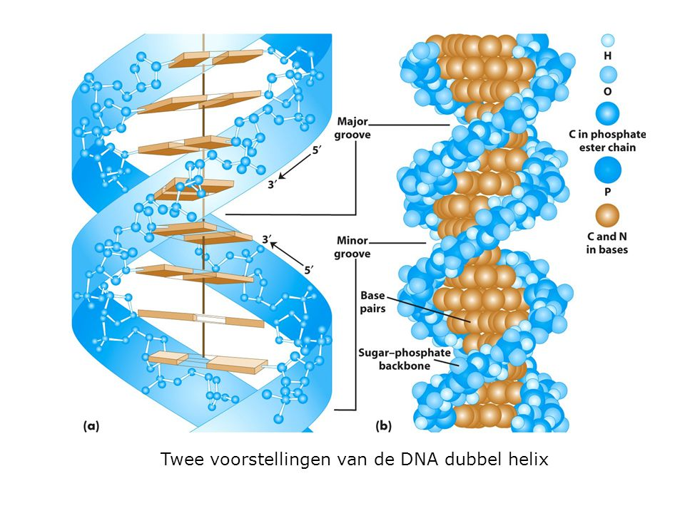 Baseparing in DNA De ontdekking van Watson en Crick behoort tot de meest belangrijke biologische ontdekkingen van de twintigste eeuw omdat: 1.Een genetische code info schrijft in DNA als een sequentie van nucleotiden en ze vertaalt in een andere taal van aminozuren 2.Mutatie eenvoudigweg mogelijk is door de substitutie van het ene type base door een ander type 3.« It has not escaped our notice that the specific pairing we have postulated immediately suggests a possible copying mechanism for the genetic material »