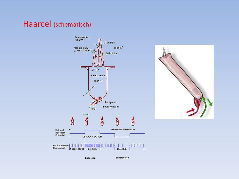 Haarcel (schematisch)