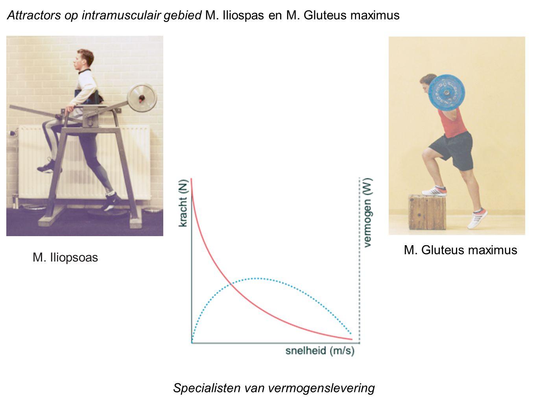Attractors op intramusculair gebied M. Iliospas en M. Gluteus maximus M. Iliopsoas M. Gluteus maximus Specialisten van vermogenslevering