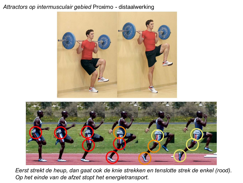 Attractors op intermusculair gebied Proximo - distaalwerking Eerst strekt de heup, dan gaat ook de knie strekken en tenslotte strek de enkel (rood). O