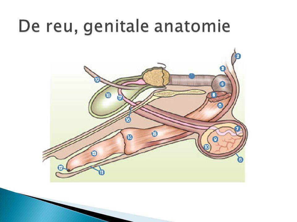  Dier in vroegste stadium ontwikkeling  MORULA wordt gevormd  16-32 diploïde cellen  3-4 dagen (verblijf in eileider  Delende cellen groeien niet  Blijven samen door glasvlies  Minimal 16 cellen -> start differentiëren  Morula naar baarmoeder  baarmoederslijmvlies (voedingsstoffen)  Celdelingen lopen tot glasvlies barst  blastula