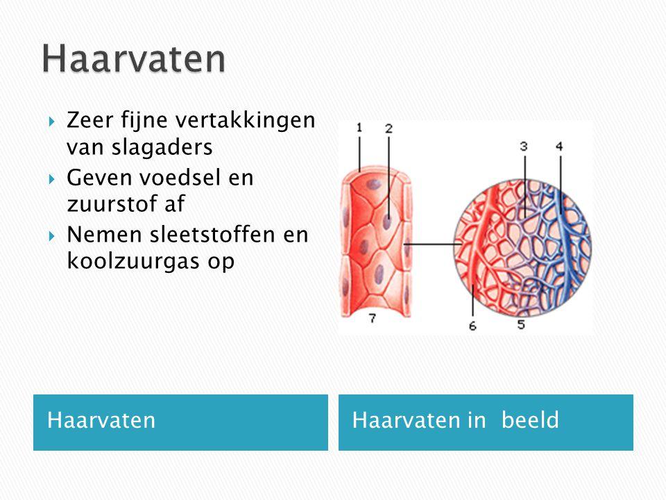HaarvatenHaarvaten in beeld  Zeer fijne vertakkingen van slagaders  Geven voedsel en zuurstof af  Nemen sleetstoffen en koolzuurgas op