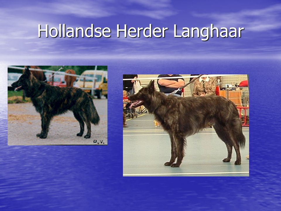 Hollandse Herder Langhaar