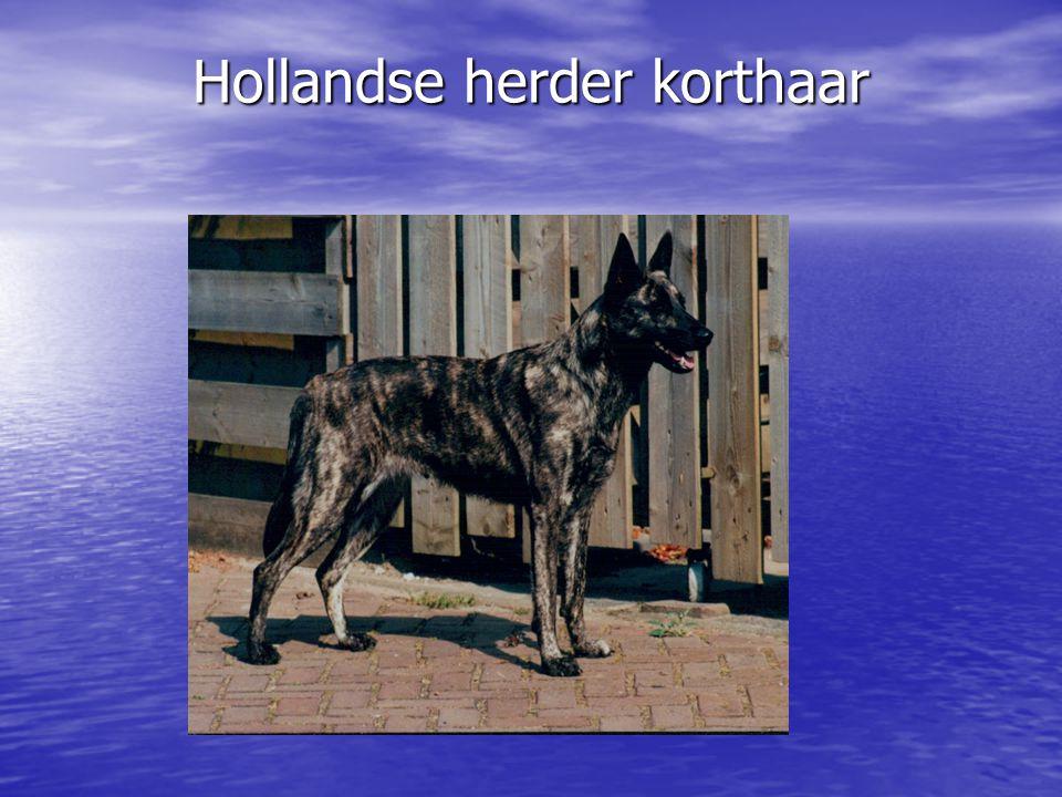 Hollandse herder korthaar