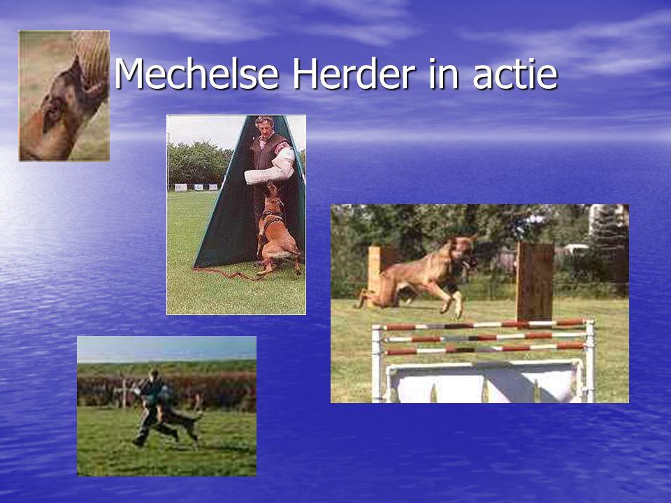 Mechelse Herder in actie