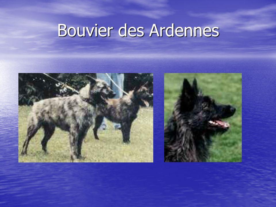Bouvier des Ardennes