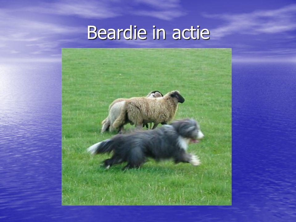 Beardie in actie
