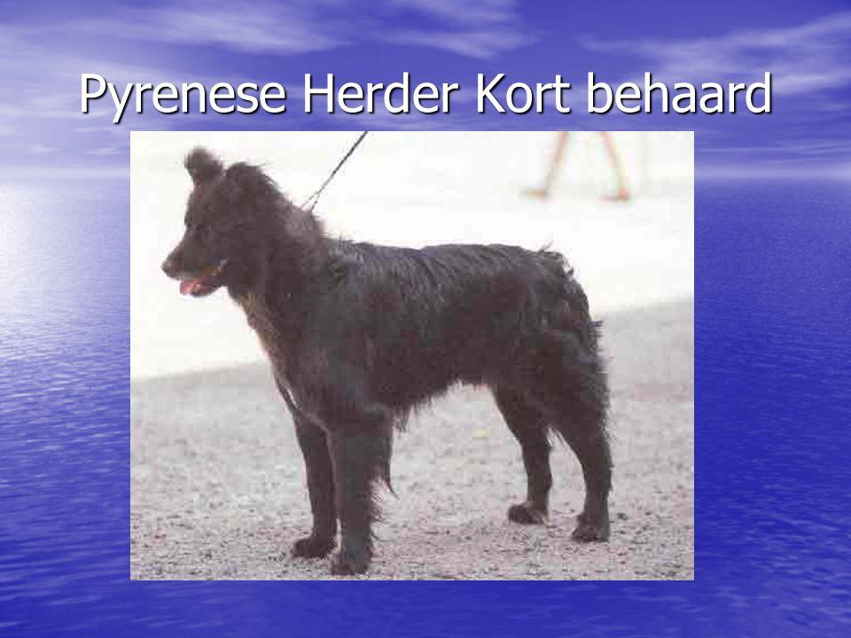 Pyrenese Herder Kort behaard