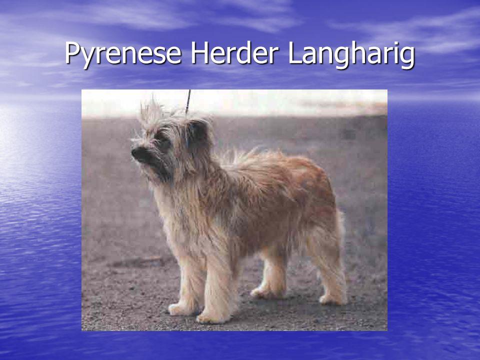 Pyrenese Herder Langharig