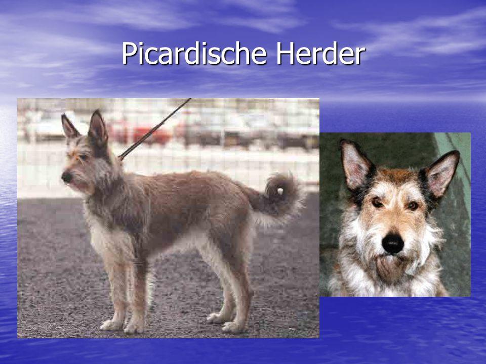 Picardische Herder