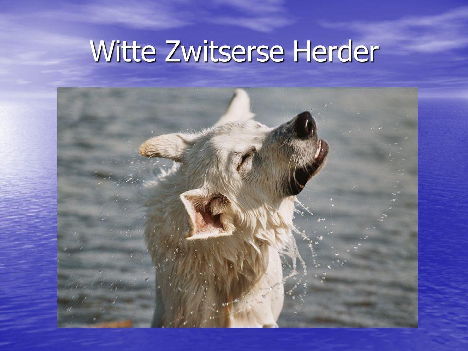 Witte Zwitserse Herder