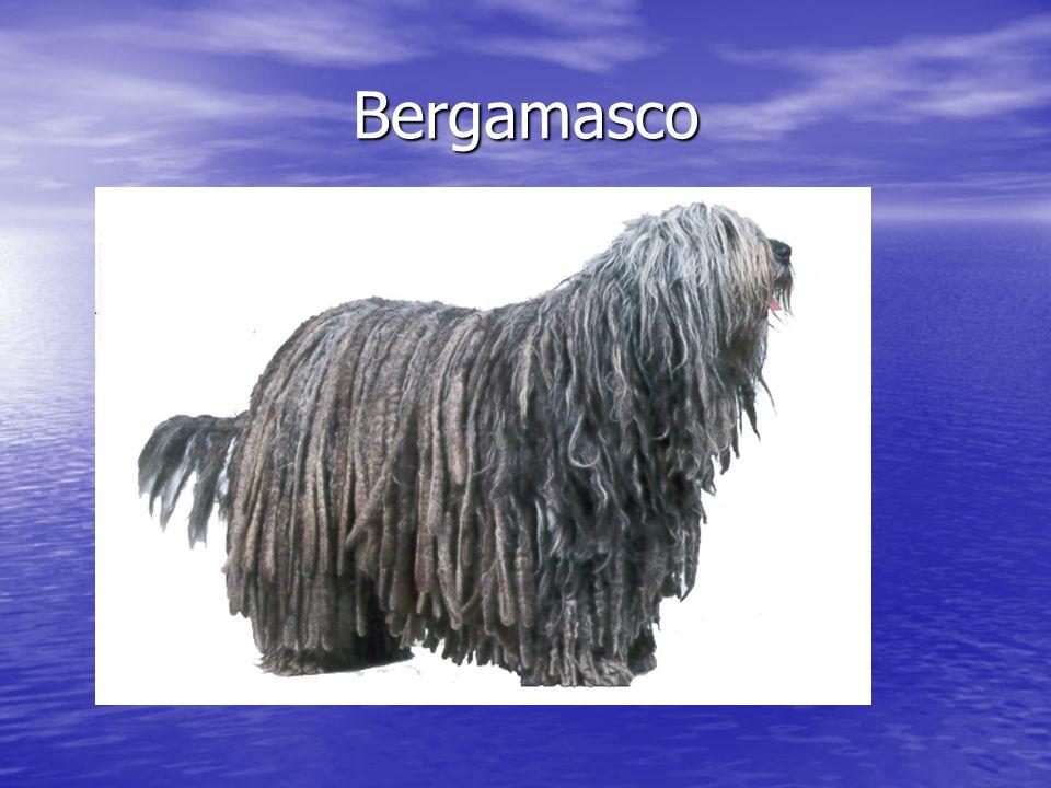 Bergamasco