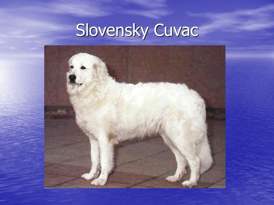 Slovensky Cuvac