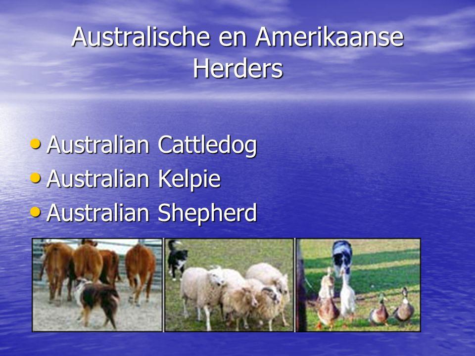 Australische en Amerikaanse Herders Australian Cattledog Australian Cattledog Australian Kelpie Australian Kelpie Australian Shepherd Australian Shepherd