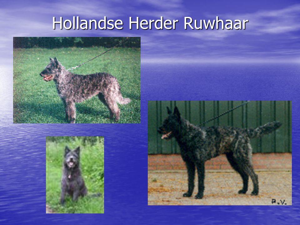 Hollandse Herder Ruwhaar