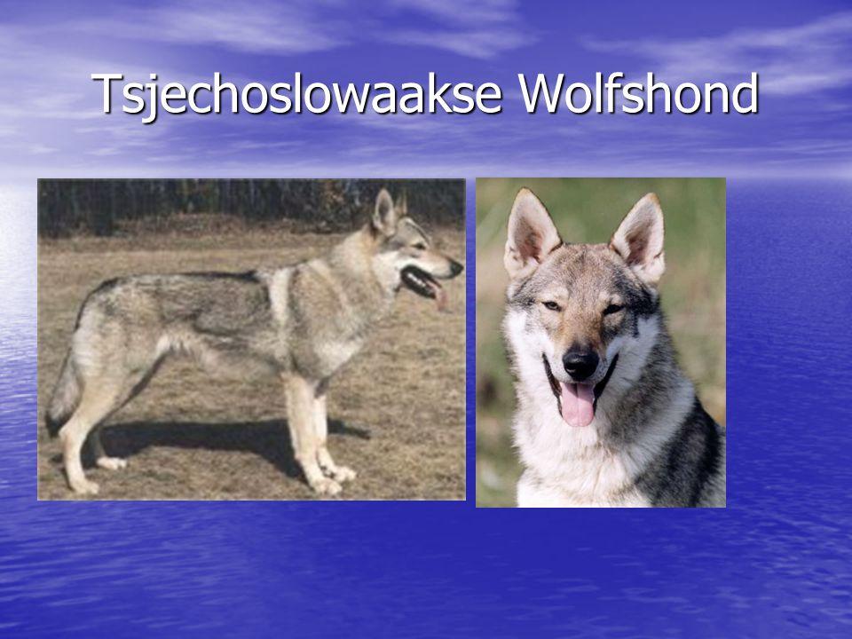 Tsjechoslowaakse Wolfshond