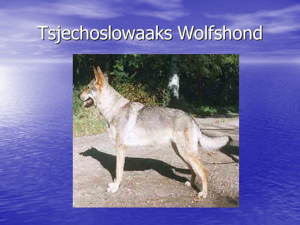 Tsjechoslowaaks Wolfshond