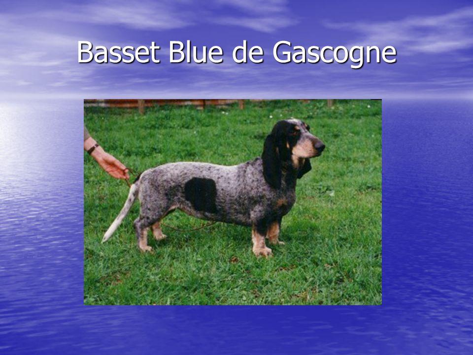 Basset Blue de Gascogne