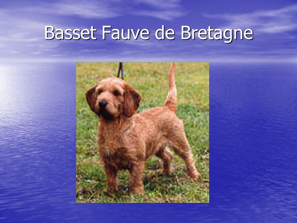Basset Fauve de Bretagne