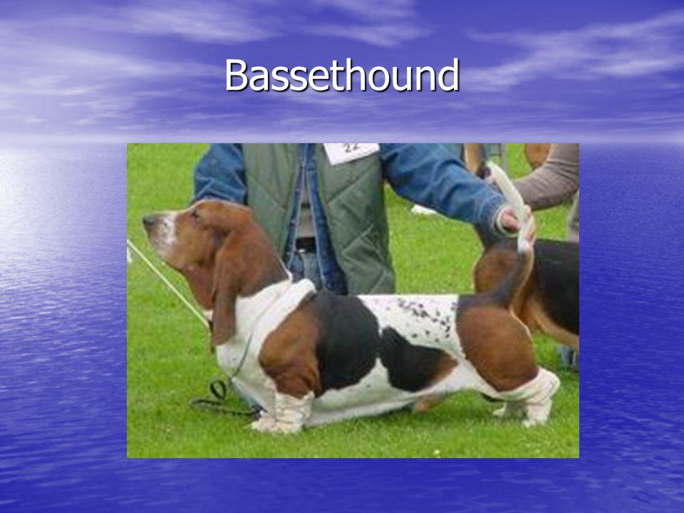 Bassethound